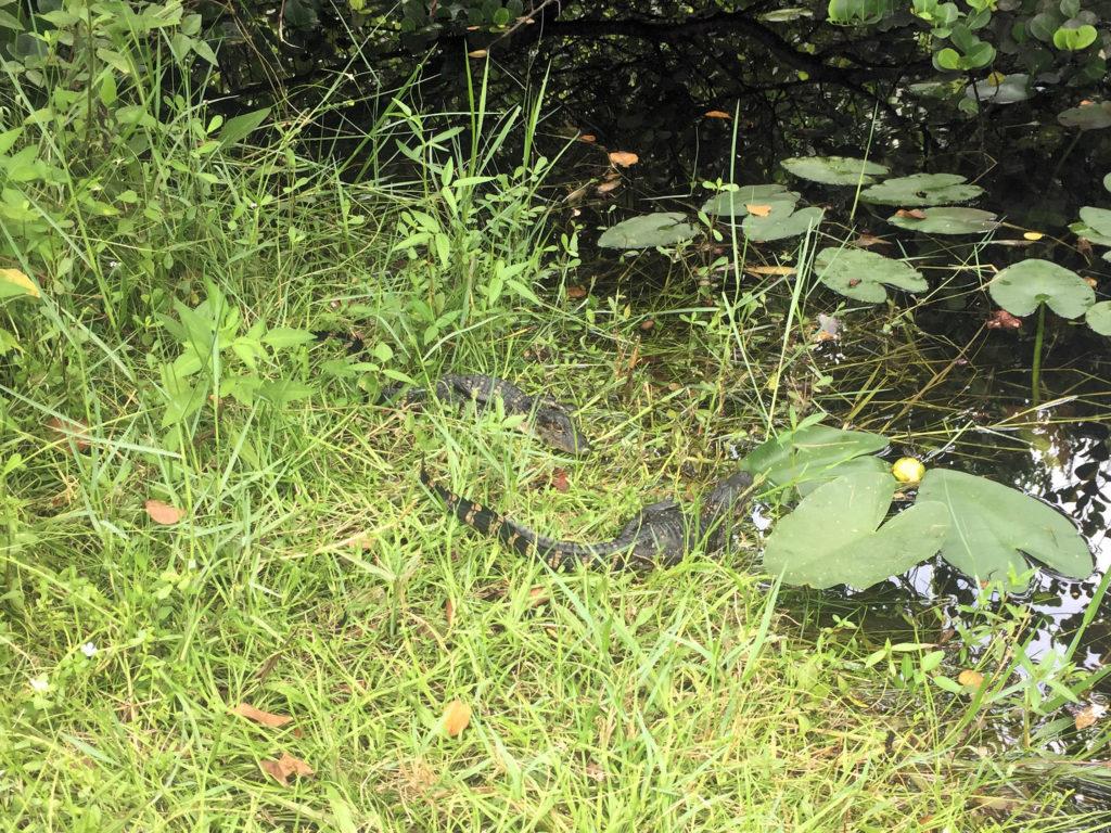 Everglades - Mini-Krokodile